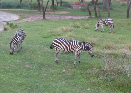 Animal_kingdom_zebras